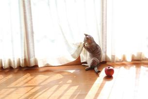 縁側で遊ぶ猫の写真素材 [FYI03219497]