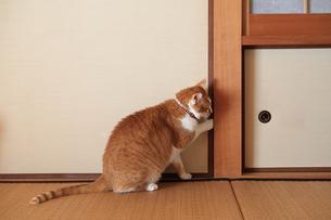 和室のふすまを開けようとする猫の写真素材 [FYI03219500]