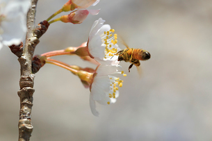 桜の蜜を集めるミツバチの写真素材 [FYI03219507]