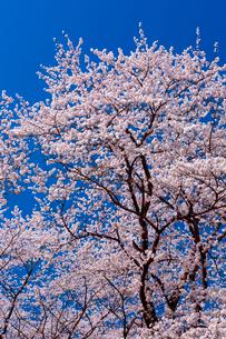 青空の下で咲く満開の桜の写真素材 [FYI03219592]
