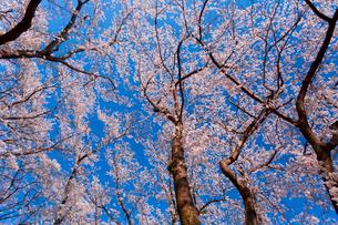 青空の下で咲く満開の桜の写真素材 [FYI03219623]