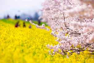 家族が遊ぶ桜と菜の花が咲く荒川土手の写真素材 [FYI03219627]