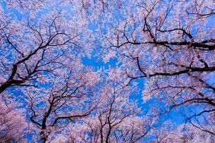 青空の下で咲く満開の桜の写真素材 [FYI03219644]