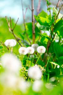 春の日差しを浴びるタンポポの綿毛の写真素材 [FYI03219660]