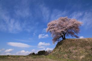 平堂壇桜の写真素材 [FYI03219817]