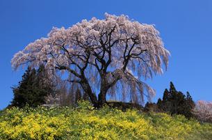 芹ヶ沢の桜の写真素材 [FYI03219877]