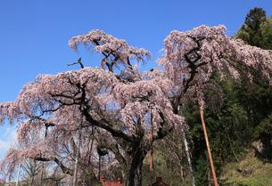 紅枝垂地蔵桜の写真素材 [FYI03219880]