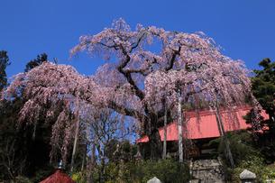 大聖寺の紅枝垂れ桜の写真素材 [FYI03219882]