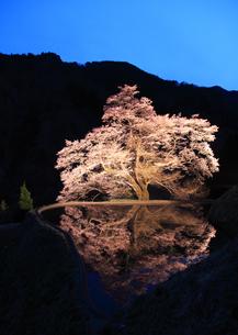 駒つなぎの桜の写真素材 [FYI03219895]