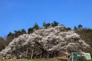三隅の大平桜の写真素材 [FYI03219907]