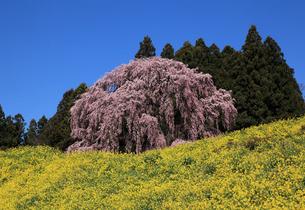 合戦場の桜の写真素材 [FYI03219916]