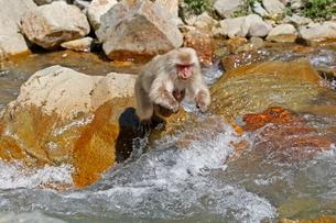 川を飛び越えるニホンザル(母子)の写真素材 [FYI03219946]