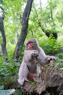 倒木に座るニホンザル(アダルト、オス)の写真素材 [FYI03219947]
