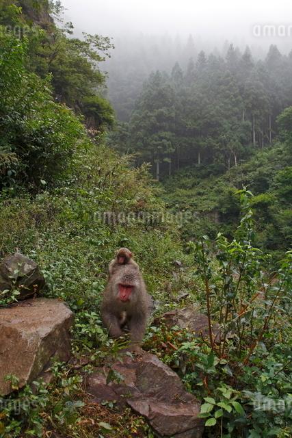霧煙る森をゆくニホンザル(母子)の写真素材 [FYI03219948]