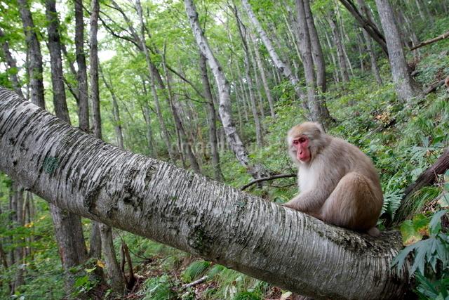 シラカバの木に座り様子をうかがうニホンザル(ヤング、オス)の写真素材 [FYI03219950]