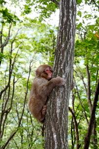 木にしがみつく子ザルの写真素材 [FYI03219953]