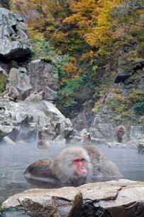 温泉に入るニホンザル(秋)(左、アダルト、メス)の写真素材 [FYI03219957]