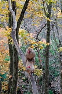 樹上で交尾をするニホンザル(奥、オス、手前、メス)の写真素材 [FYI03219960]