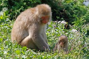 草の上で子供を遊ばせる母ザル(子供生後約5カ月)の写真素材 [FYI03219961]