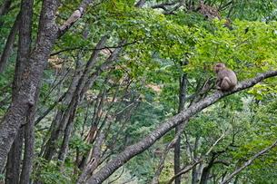 樹上で様子をうかがうニホンザル(アダルト、オス)の写真素材 [FYI03219962]
