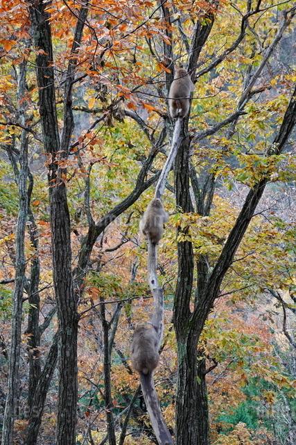 秋の森、樹上に遊ぶ子ザルの写真素材 [FYI03219964]