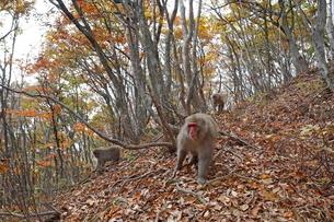 晩秋の森を移動するニホンザルの群れ(手前、アダルト、オス)の写真素材 [FYI03219969]