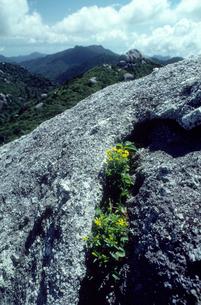 岩の割れ目に咲くイッスンキンカの写真素材 [FYI03219992]
