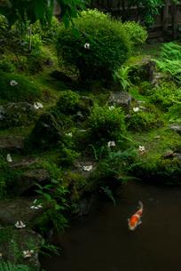 宝泉院の鶴亀庭園を彩る沙羅双樹の花と錦鯉の写真素材 [FYI03220083]