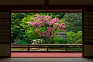 ベニバナマンサクの色鮮やかな京都・随心院庭園の写真素材 [FYI03220231]