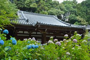 岩船寺本堂とアジサイの写真素材 [FYI03220490]