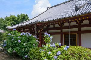 矢田寺本堂とアジサイの写真素材 [FYI03220497]