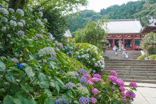 矢田寺本堂と参道のアジサイの写真素材 [FYI03220534]