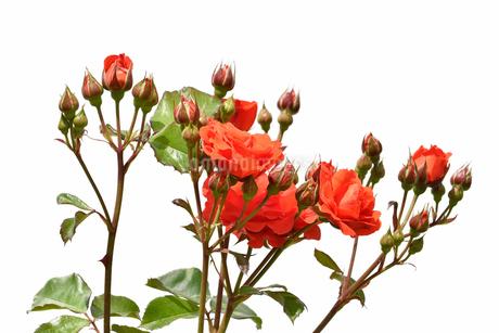 白背景の薔薇の花の写真素材 [FYI03221241]