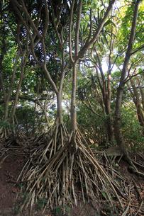 タコノキ 母島の写真素材 [FYI03221523]