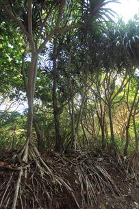 タコノキ 母島の写真素材 [FYI03221524]