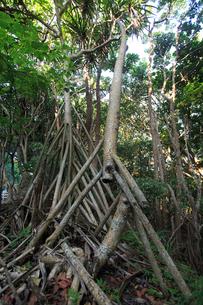 タコノキ 母島の写真素材 [FYI03221531]