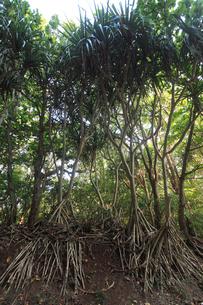 タコノキ 母島の写真素材 [FYI03221535]