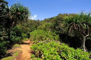 南崎への道 タコノキ 母島の写真素材 [FYI03221685]