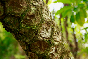 マルハチ 石門入口 山道 母島の写真素材 [FYI03221792]