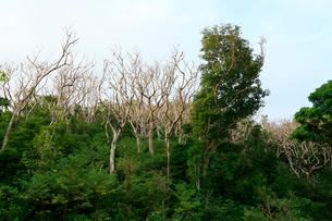 アカギの駆除 母島の写真素材 [FYI03221793]