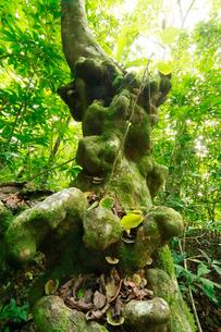 シマホルトノキ コブニキ 桑ノ木山 母島の写真素材 [FYI03221799]