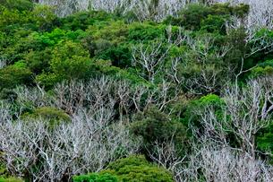 アカギの駆除 母島の写真素材 [FYI03221804]
