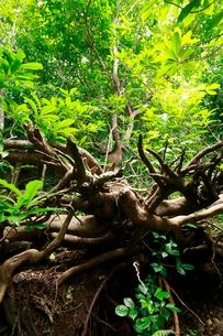 ワダンノキ 石門 母島の写真素材 [FYI03221863]