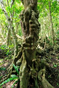 シマホルトノキ コブノキ 石門 母島の写真素材 [FYI03221872]
