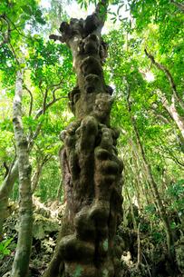 シマホルトノキ コブノキ 石門 母島の写真素材 [FYI03221873]