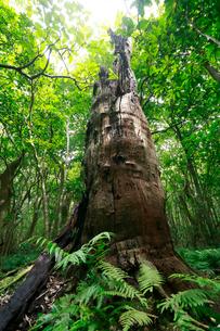 大木 母島の写真素材 [FYI03221883]