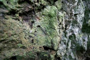 化石 ラピエ 石灰岩熔食地形 石門 母島の写真素材 [FYI03221886]