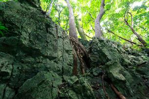 アカギ ラピエ 石灰岩熔食地形 石門 母島の写真素材 [FYI03221887]