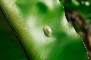 オカモノアラガイ 石門 母島の写真素材 [FYI03221890]