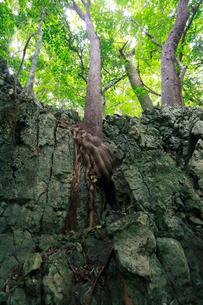 アカギ ラピエ 石灰岩熔食地形 石門 母島の写真素材 [FYI03221891]
